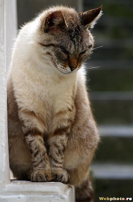 pisicuta sfioasa