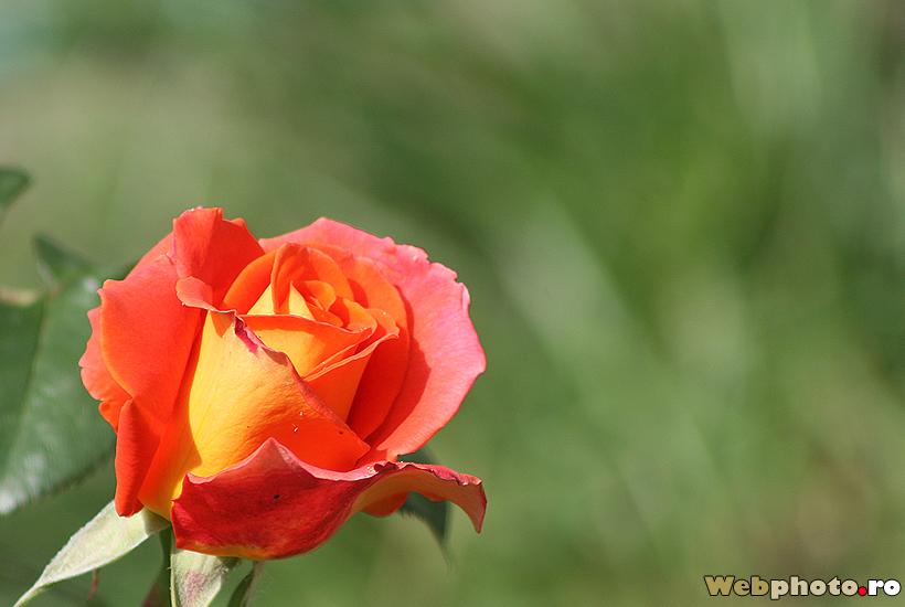 trandafir rosu