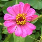 floare-roz