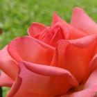 opened_rose