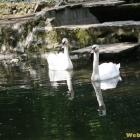 family swans