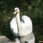 wings swan
