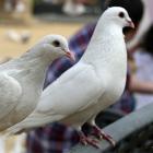 pair doves