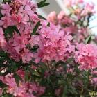 oleander flower