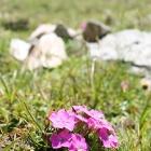 alpin floare