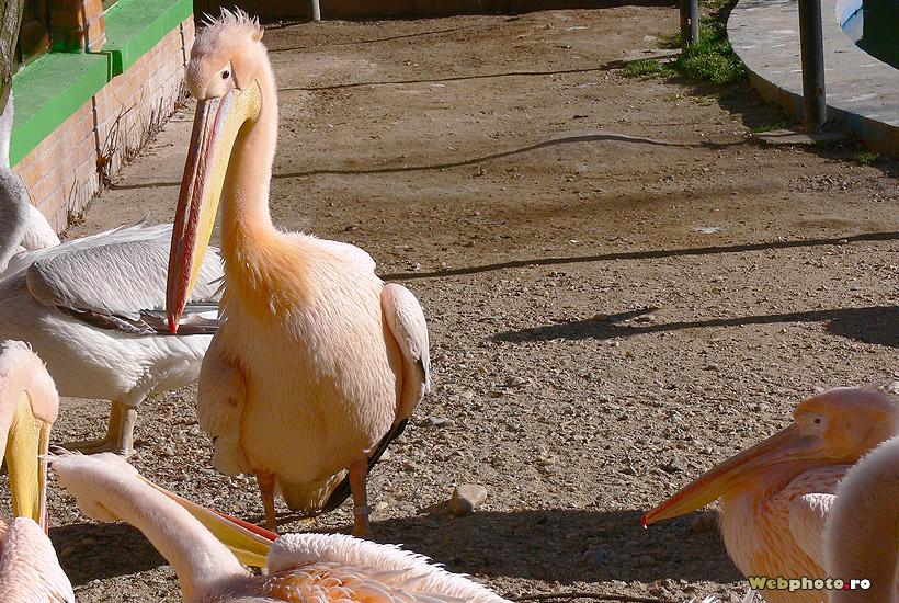 pelican roz