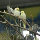 papagan nimfa