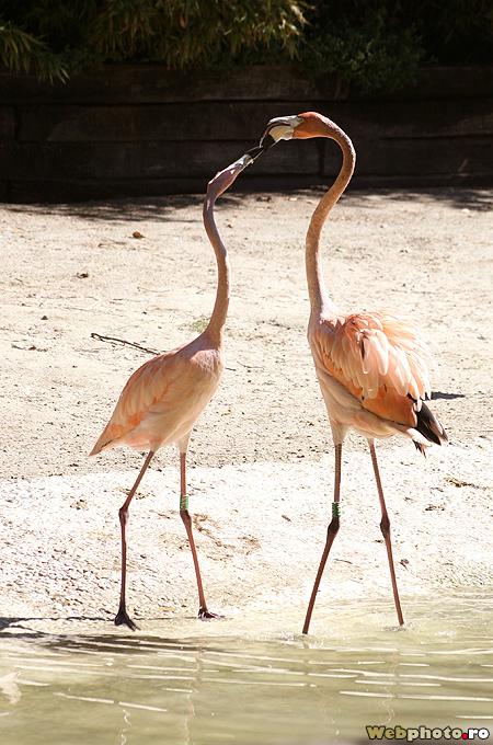 flamingi indragostiti