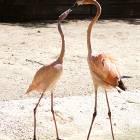 flamingo_love