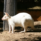 white_kangaroo