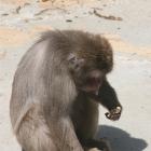 babuin
