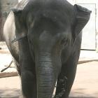 urechi de elefant