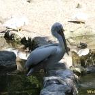 cioc pelican