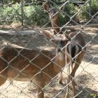 fence goat
